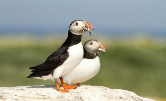 Atlantic Puffin: