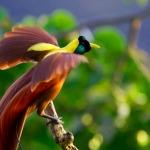 Bali Bird of Paradise: