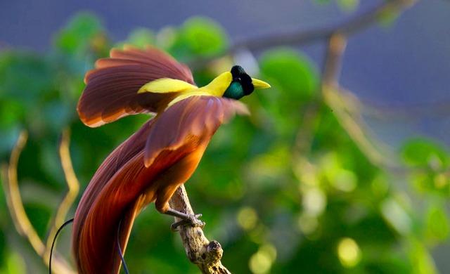 Bali Bird of Paradise