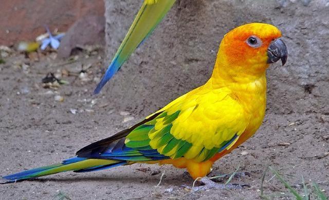 Sun Conure or Sun parakeet