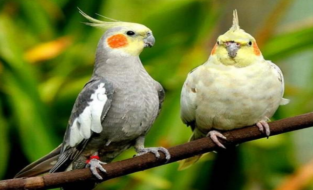 Top Ten Pet Birds List - Information Travelling & Technology