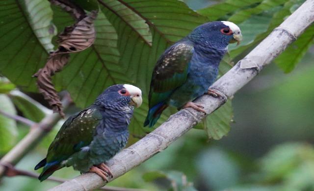 Pionus Parrots