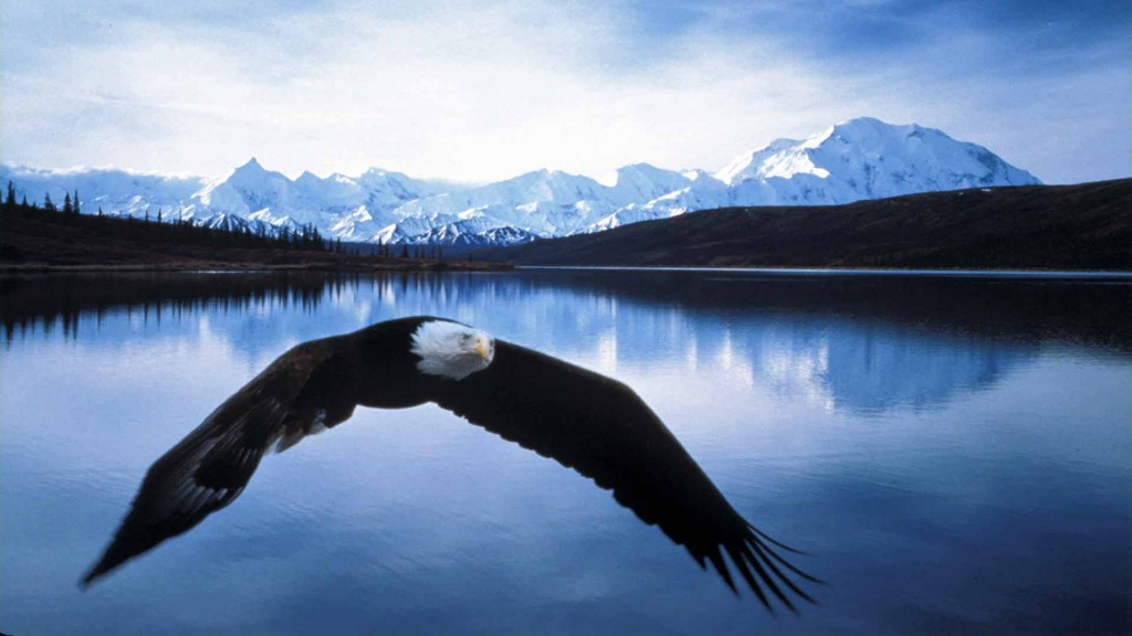Bald-Eagle-in-Flight-Denali-National-Park-Alaska