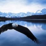 Bald-Eagle-in-Flight-Denali-National-Park-Alaska