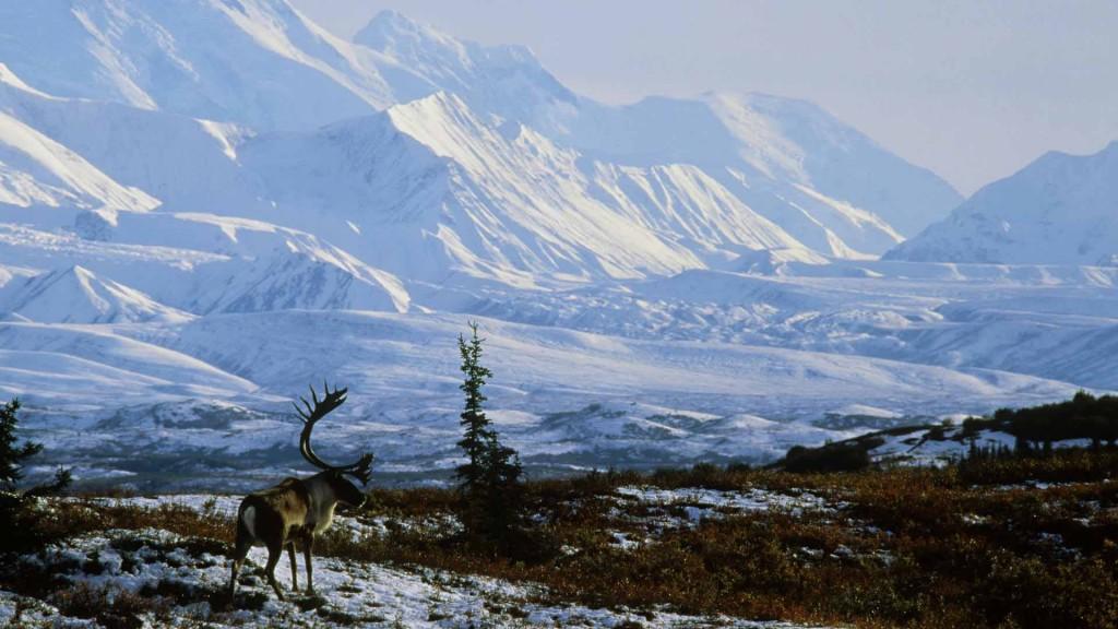 Caribou-Bull-Denali-National-Park-Alaska.