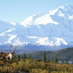Caribou and Mount McKinley, Denali National Park, Alaska
