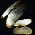Deep sea clam, Bivalves have two shells hinged together.