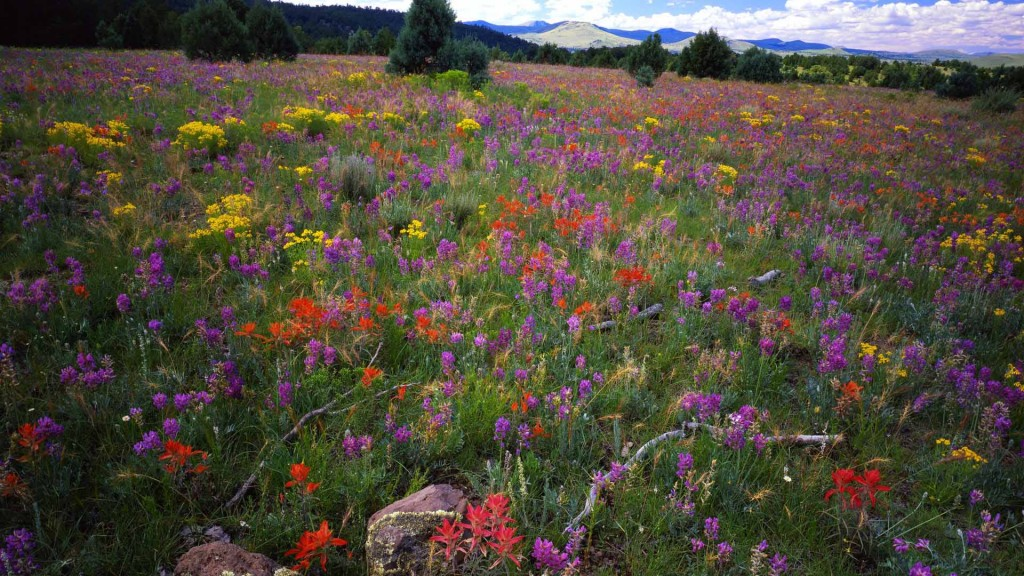 Field of Lambert's Locoweed (Oxytropis lambertii), Paintbrush (Castilleja linariaefolia), and Goldflower (sp?) in the White Mountains; Apache-Sitgreaves National Forest, AZ