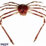 apanese giant spider crab, Macrocheira kaempferi